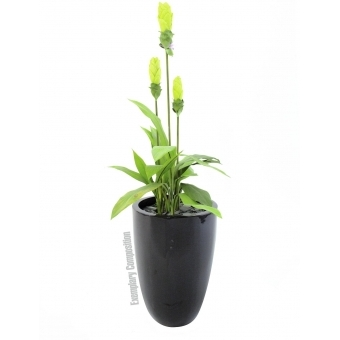 EUROPALMS Ginger lily, 95cm #2
