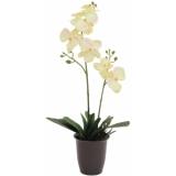 EUROPALMS Orchid, cream, 57cm