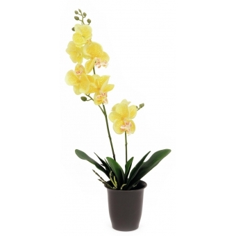 EUROPALMS Orchid, yellow, 57cm