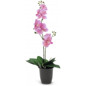 EUROPALMS Orchid, pink, 57cm