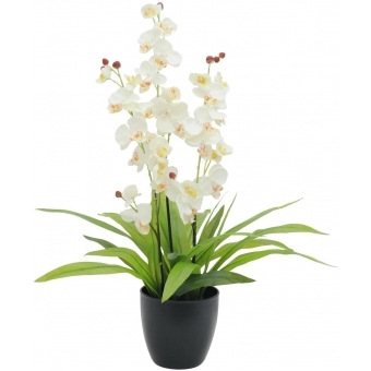 EUROPALMS Orchid, white, with black Pot, 80cm