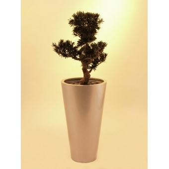 EUROPALMS Bonsai podocarpus, 80cm #5