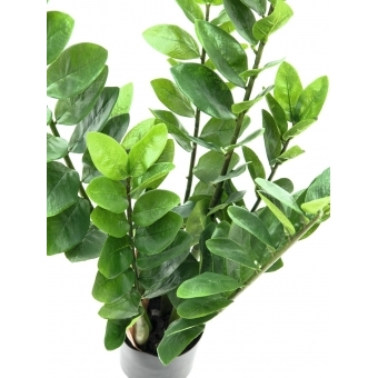 EUROPALMS Zamifolia, 70cm #2