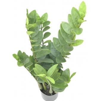 EUROPALMS Zamifolia, 70cm #4