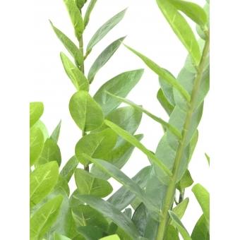 EUROPALMS Zamifolia, 70cm #5