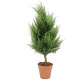 EUROPALMS Cypress, 60cm