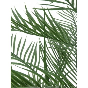 EUROPALMS Kentia palm tree, 150cm #2