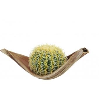 EUROPALMS Barrel Cactus, 27cm #3