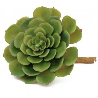 EUROPALMS Echeveria cactus, 15cm
