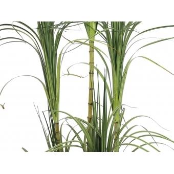 EUROPALMS Dracena bush, 215cm #2