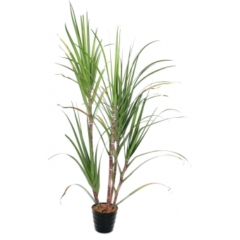 EUROPALMS Sugar Cane Set, 210cm