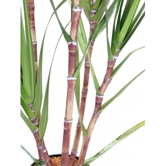 EUROPALMS Sugar Cane Set, 210cm #2
