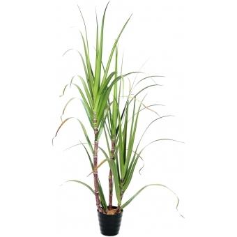 EUROPALMS Sugar Cane Set, 170cm